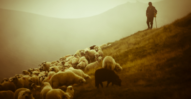 shepherd-sheep-12-1_1